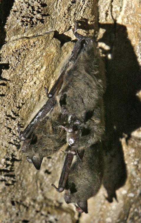 Bat-killing disease hitting Virginia harder than ever