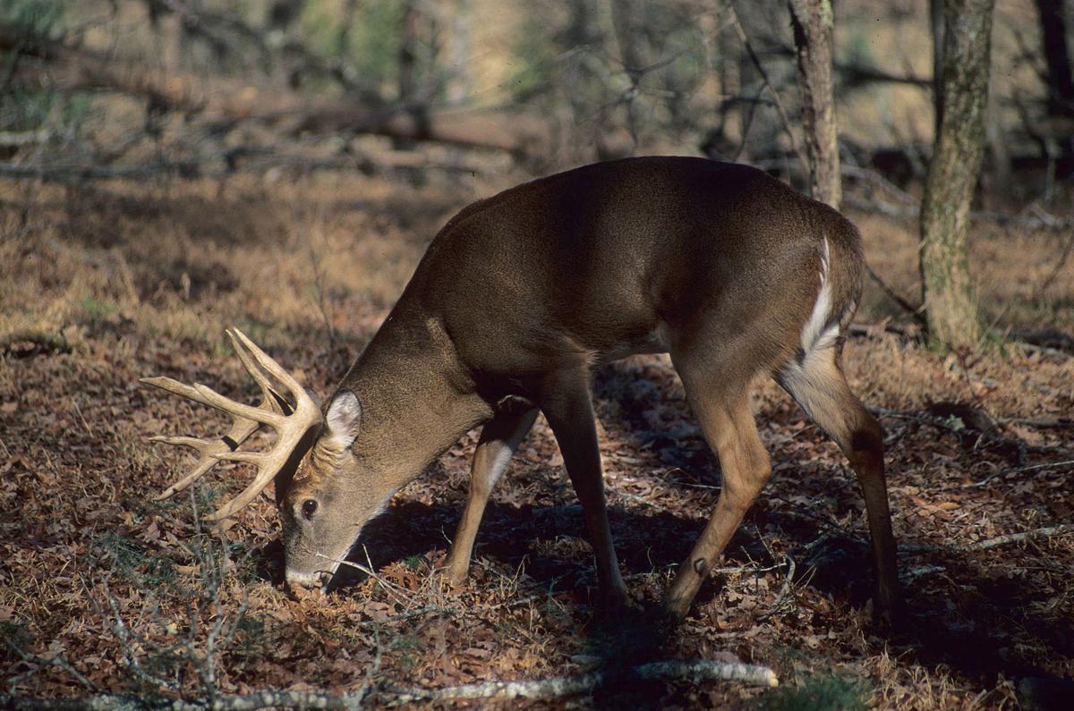 White-tailed Deer, Buck-6-180 DPI-.jpg