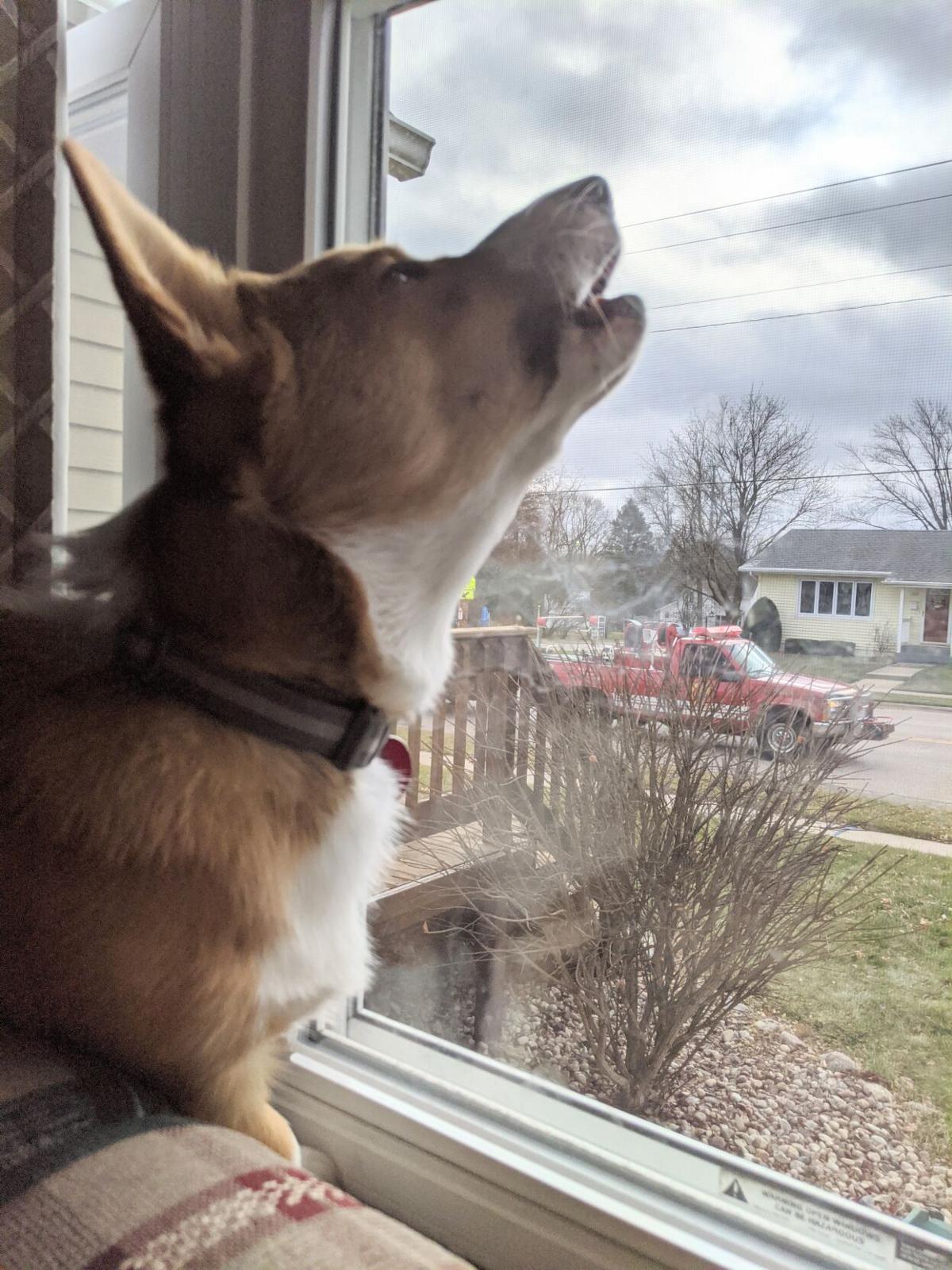 Taco the Corgi howls at Santa