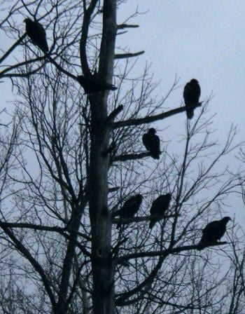 Citizens seek relief from turkey vultures
