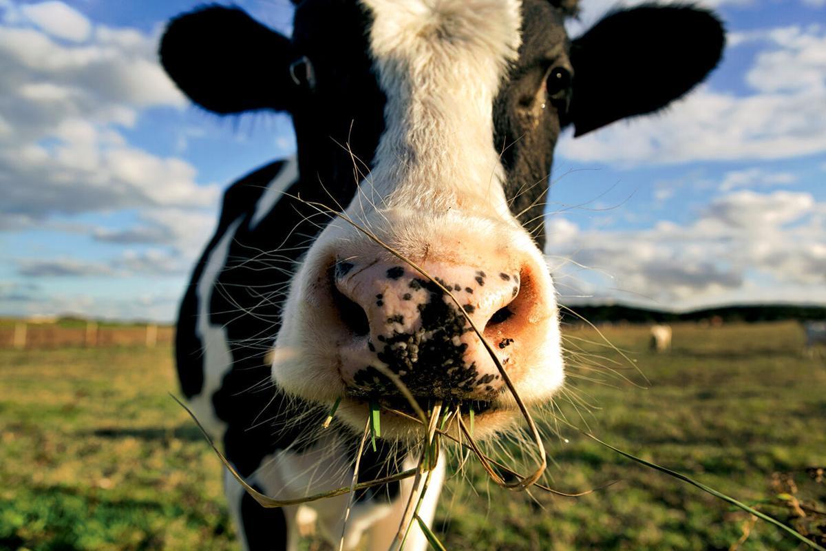 Dairy cow RTSA closeup