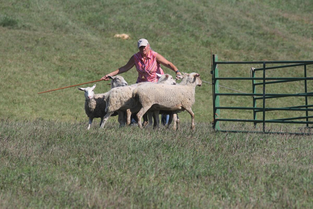 Hudson sheepdog trials 2.JPG