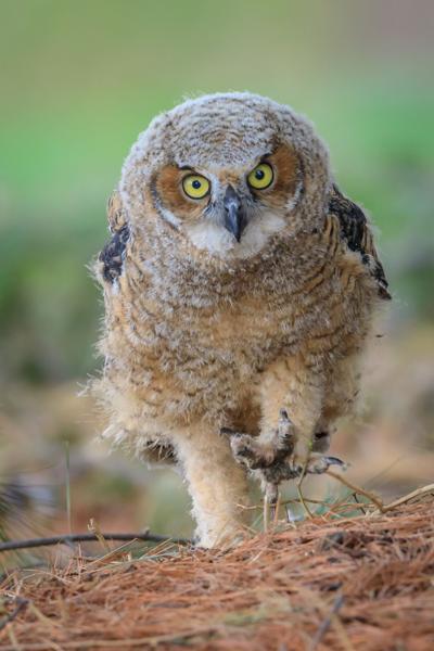 James Netz baby owl photo