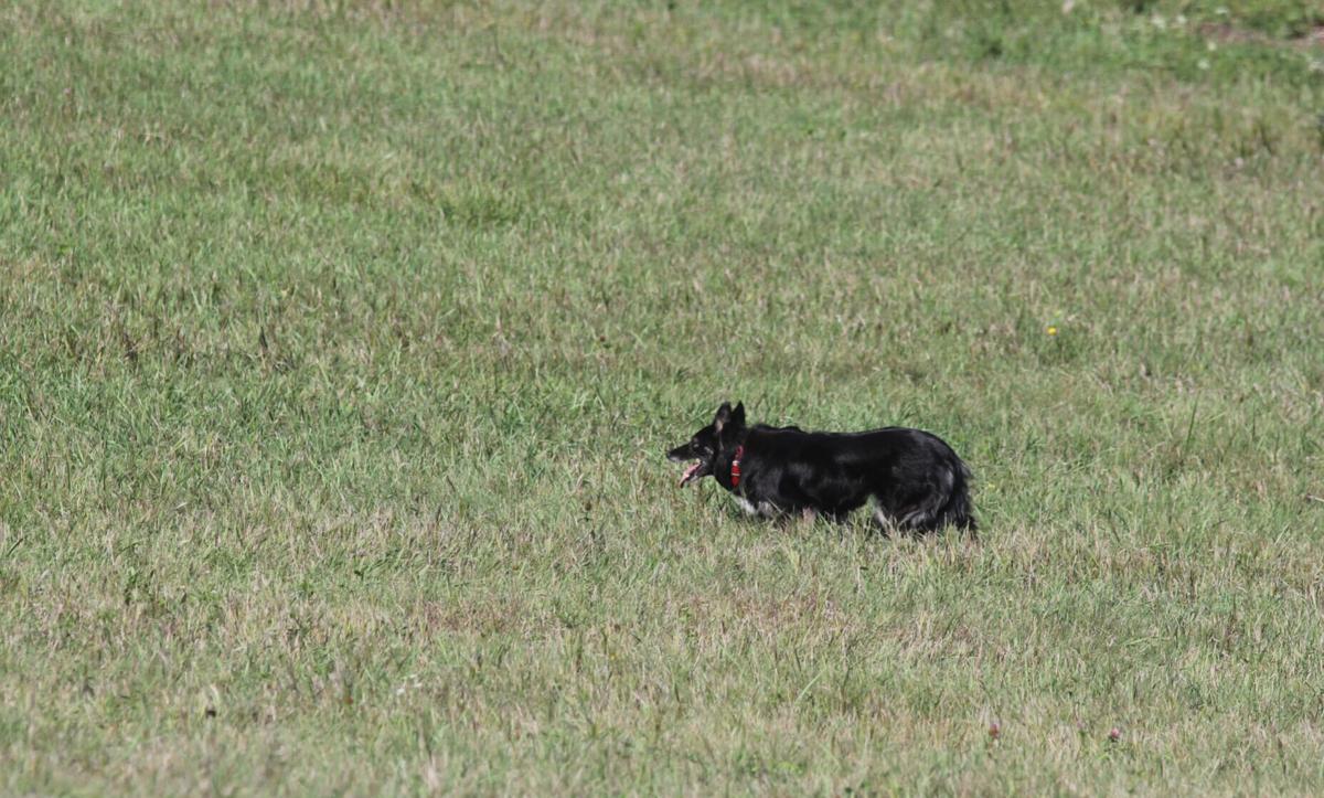 Hudson Sheepdog trials 3.JPG