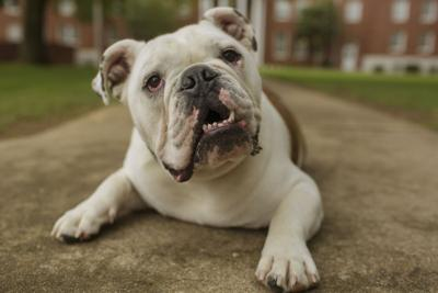 Jerry the Bulldog ATU Outside Caraway Hall (1).jpg