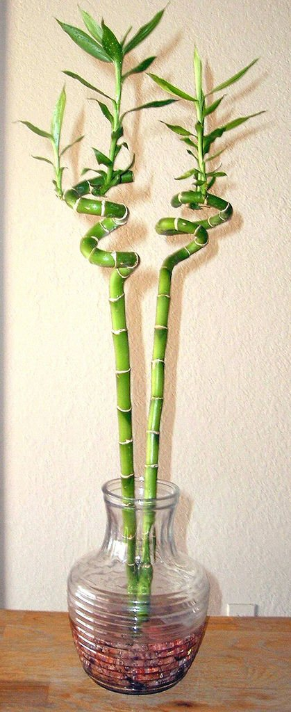Number Of Stalks Indicates Lucky Bamboo S Blessing Archive Roanoke Com