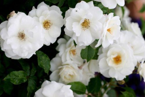 White Garden Rose Bush bloomin' easy | columns | roanoke