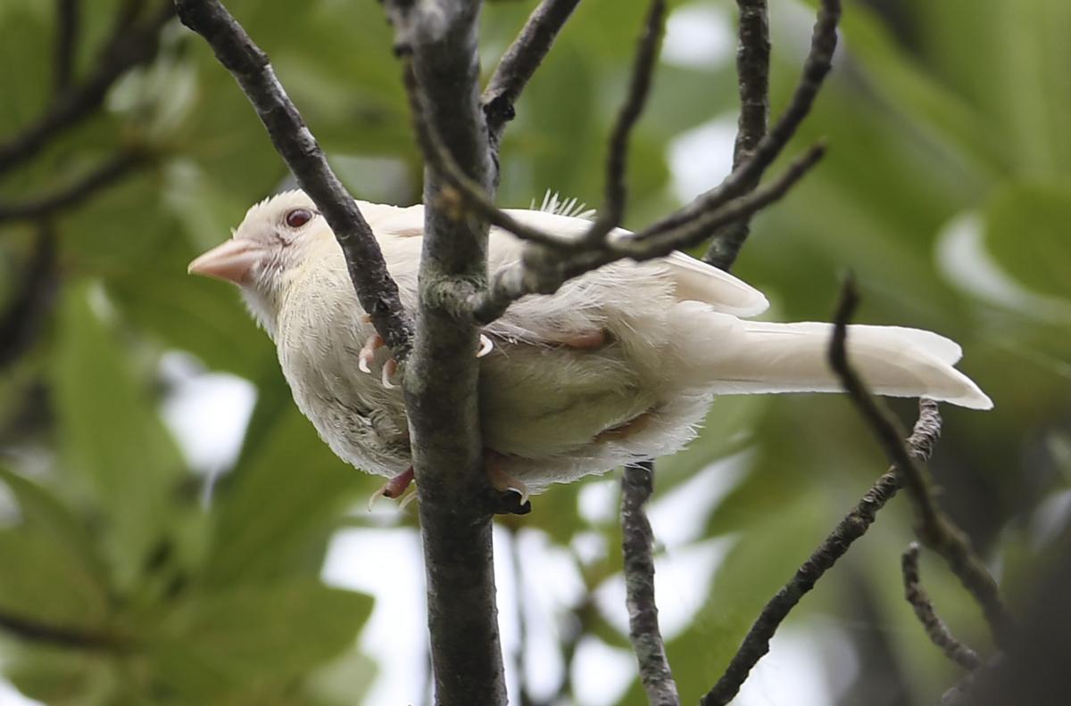 ms whitesongsparrow 062118 p01