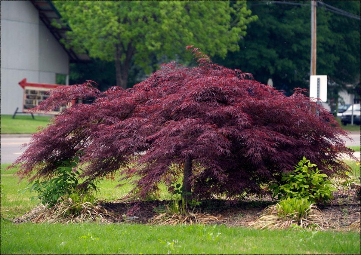 Fanatical Botanical Japanese Maple Envy Archive Roanokecom