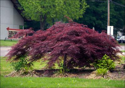 Fanatical Botanical Japanese Maple Envy Archive Roanoke Com