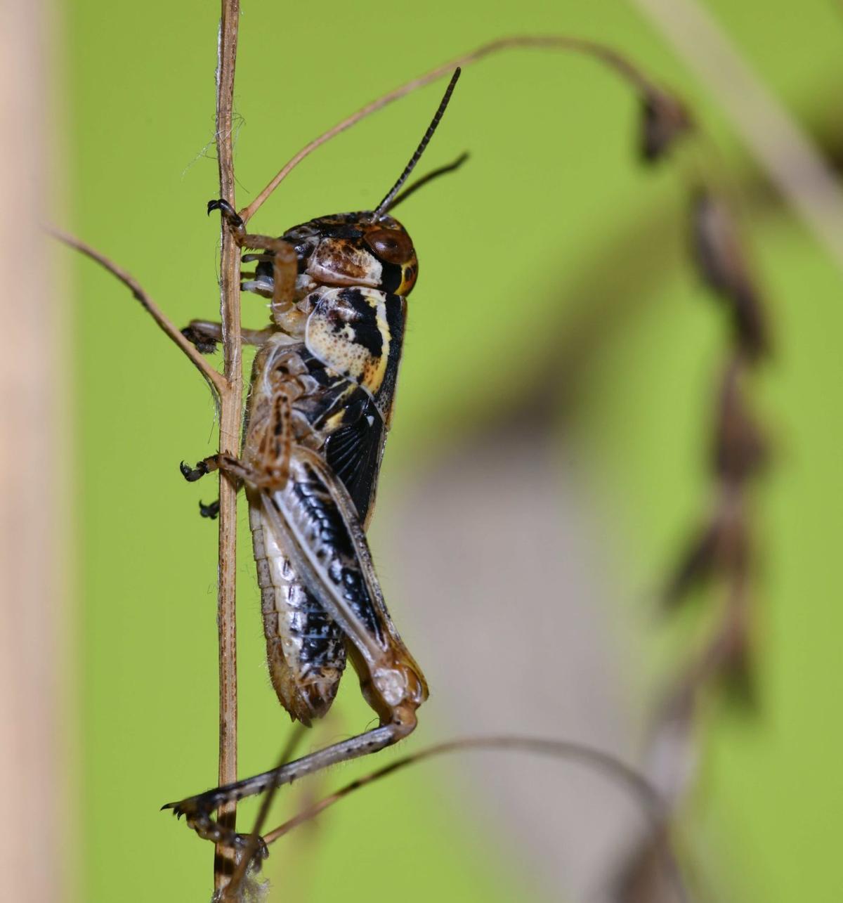 2019-11-16 15.28.08 Melanoplus grasshopper shoot - Version 2.jpg