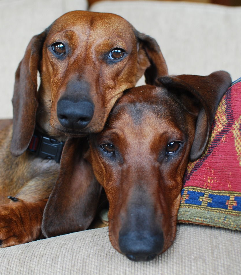 missing dachshunds p01
