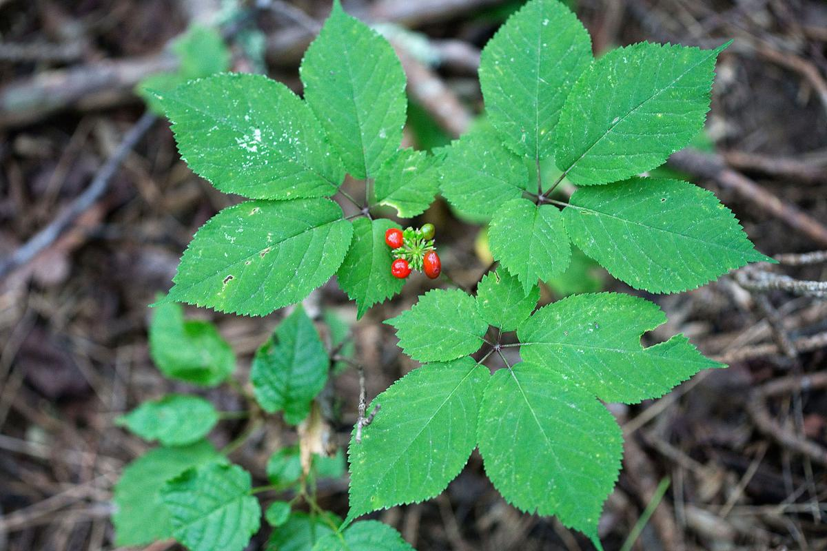 Ginseng poaching a growing threat, state officials say