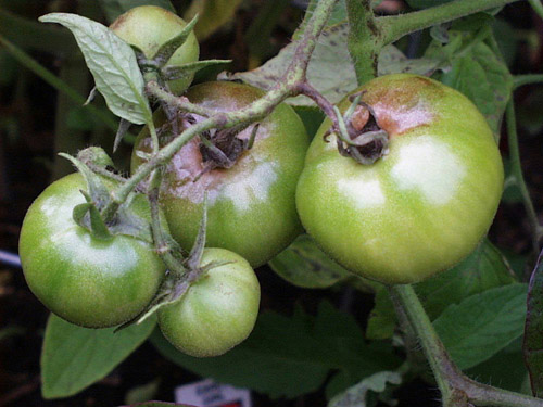 Down to Earth: Protect and defend against our area's tomato