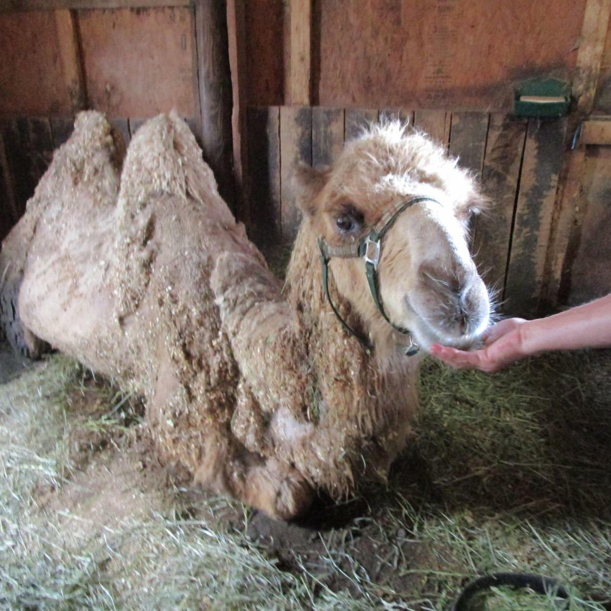 Culpeper animal rescue team aids stranded camel | Virginia