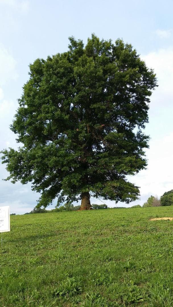 Old Blacksburg Middle School tree