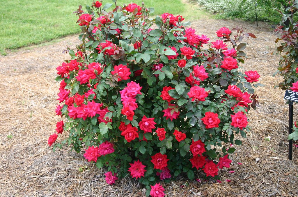 Fanatical Botanical Easy Ways To Make A Foundation Planting Archive Roanoke Com