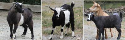 four goats