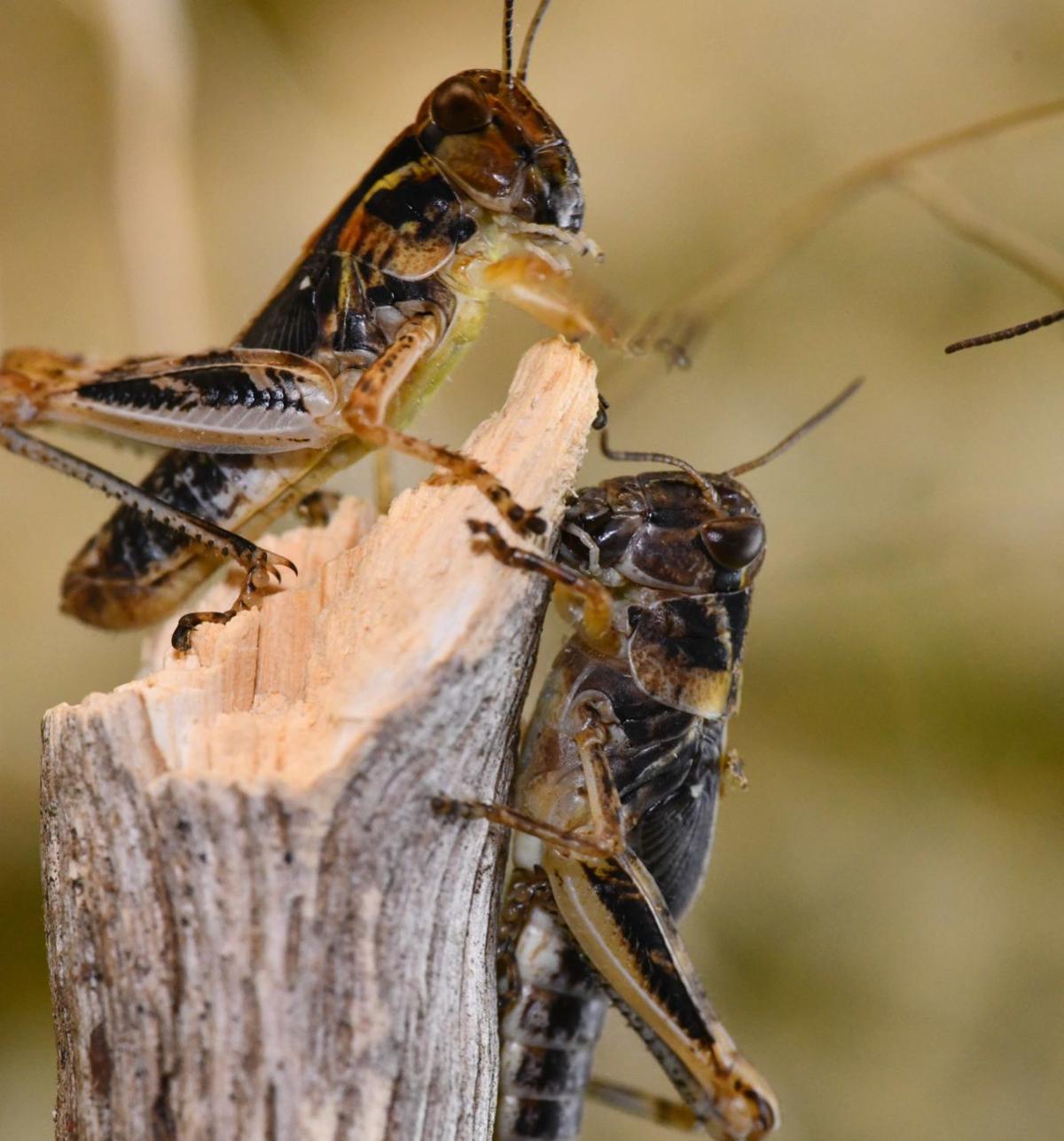 2019-11-16 15.40.05 Melanoplus grasshopper shoot - Version 2.jpg