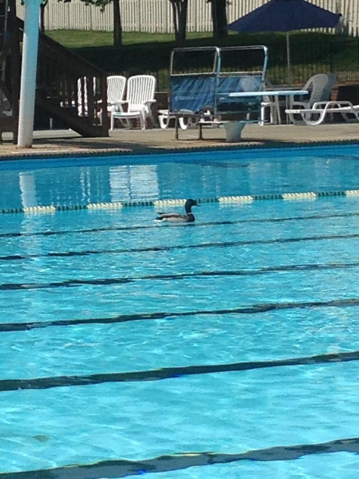 Mallard Takes Lap At Stonegate Swim Club Pool So Salem