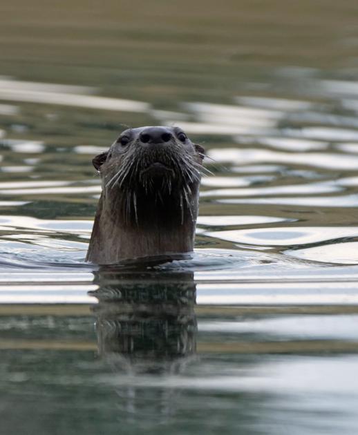 Virginia Tech's Duck Pond otter is social media sensation