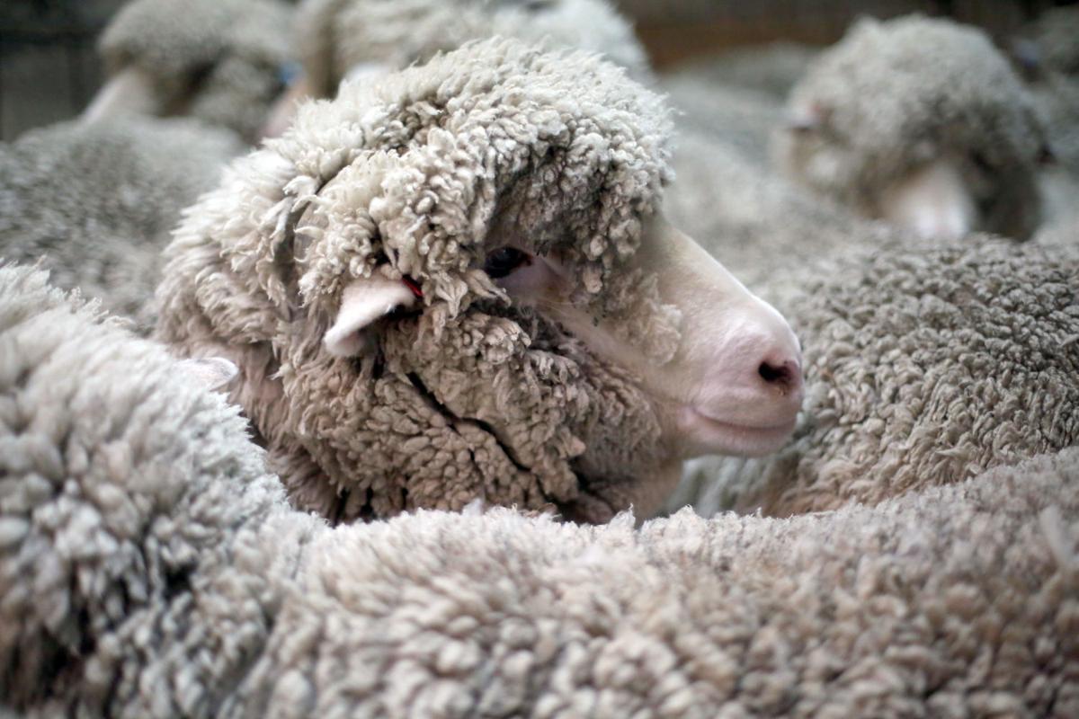 mg sheep shearing 042616