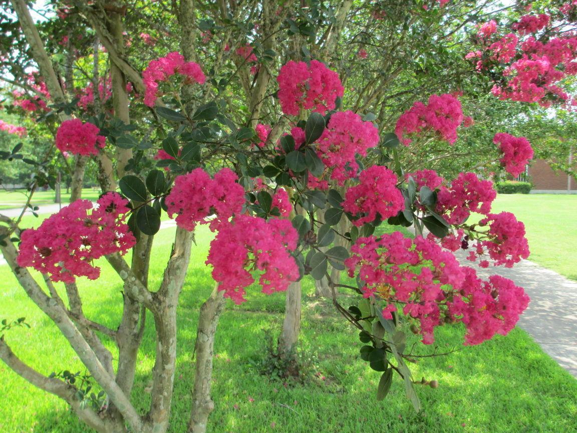 Fanatical Botanical: Don\'t commit crape murder | Fanatical Botanical ...
