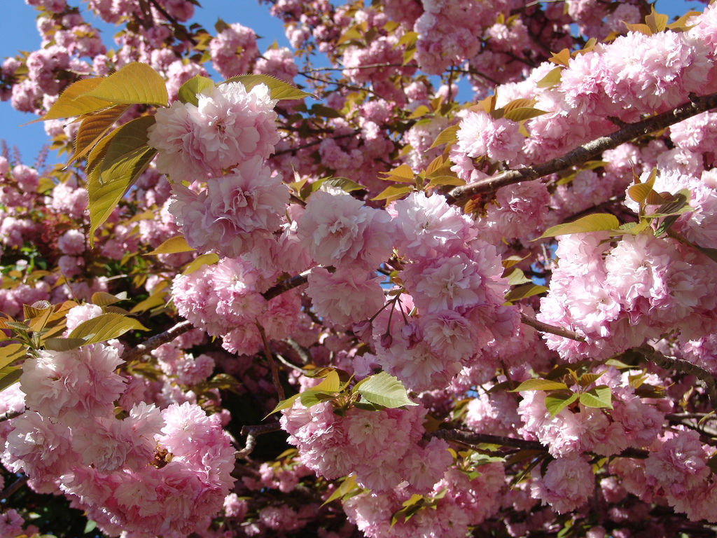 Fanatical Botanical Flowering Cherry Trees Ready To Bloom Botany