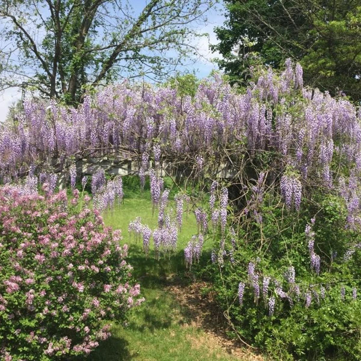 Fanatical Botanical Wandering Wisteria Archive Roanoke Com