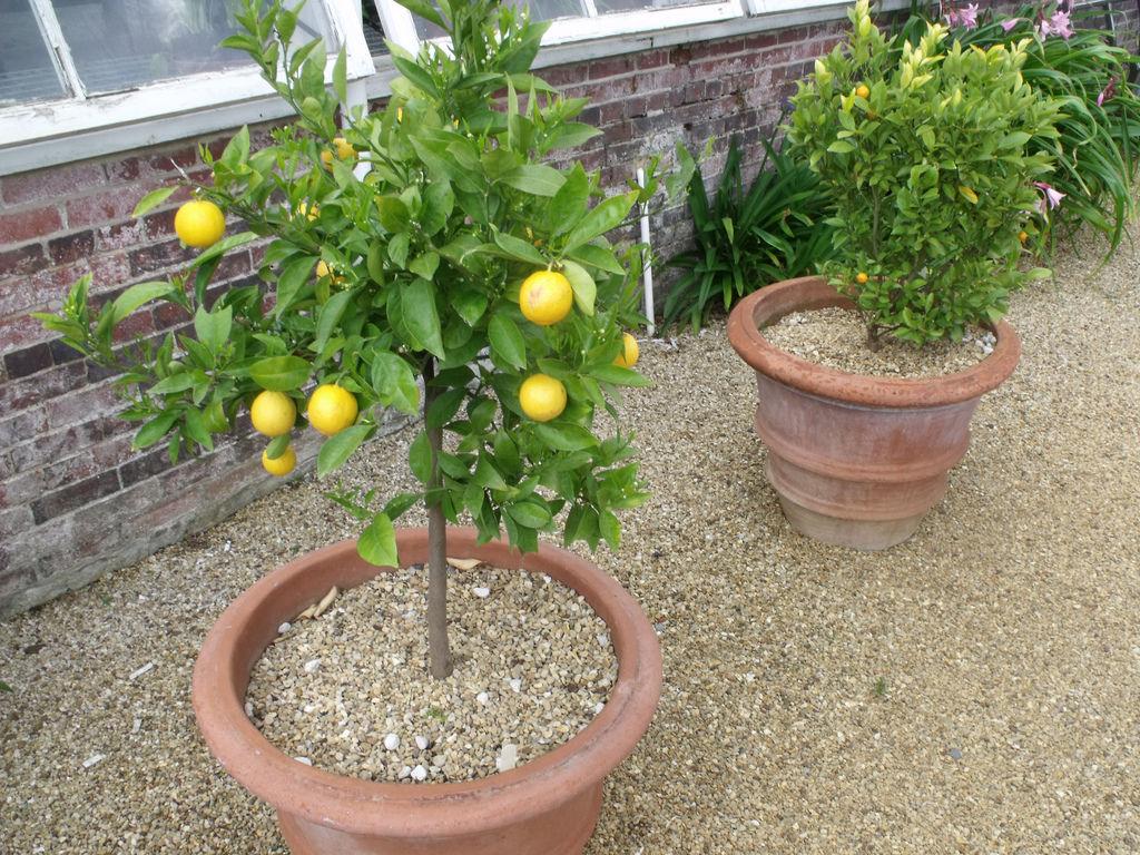 Meyer Lemons Growing In A Suitable Pot