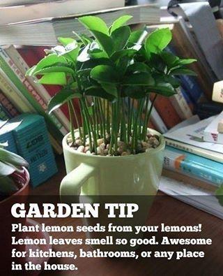 fanatical botanical growing lemon trees from seed fanatical botanical. Black Bedroom Furniture Sets. Home Design Ideas