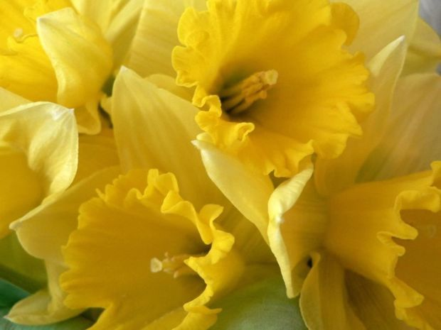 Traditional spring flowers for the easter holiday blogs roanoke daffodils mightylinksfo