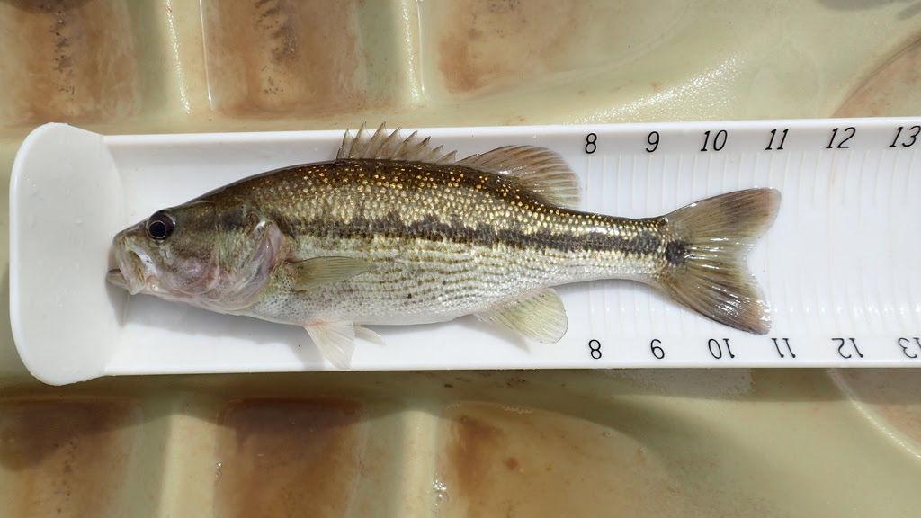 Alabama-Bass-Spotted-Bass.jpg
