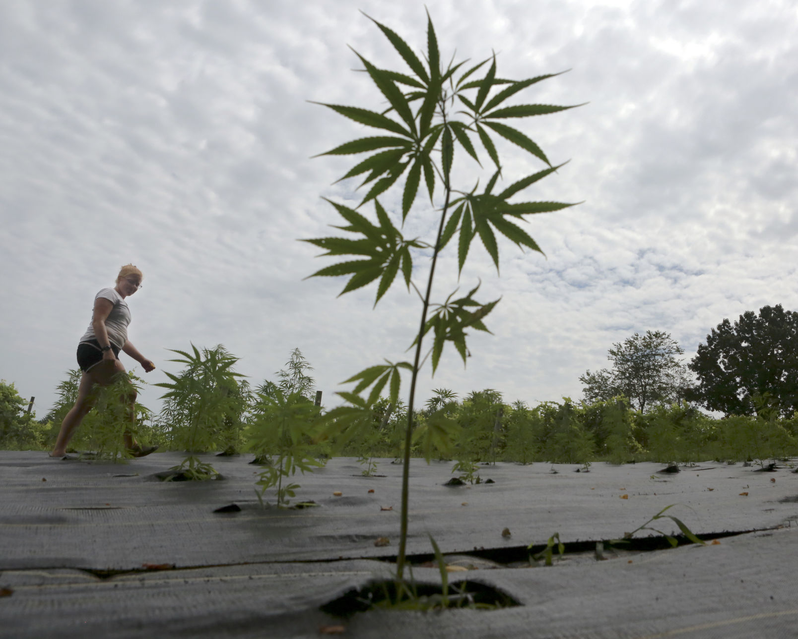 Virginia S Commercial Hemp Rush Launches After Changes In Laws Local News Roanoke Com
