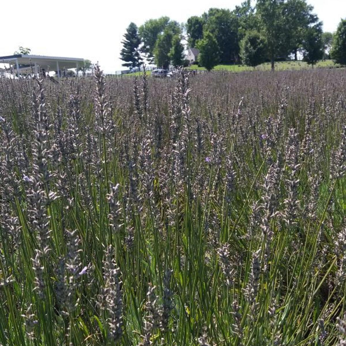 Fanatical Botanical: White Oak Lavender farm caters to