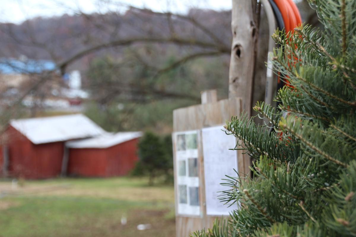 fanatical botanical growing the perfect christmas tree takes year