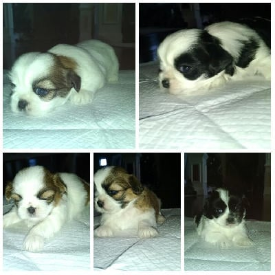 PURE BRED PAPERED PUPPIES READY FOR A NEW HOME!!  Born 11/09/15. They have first vet visit, shots, dewormer and papers for registration.  There are four males and one female.  Please call 678-442-0702 if interested in purchasing.