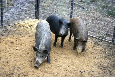 Exclude wild pigs from wildlife feeders with panel fencing
