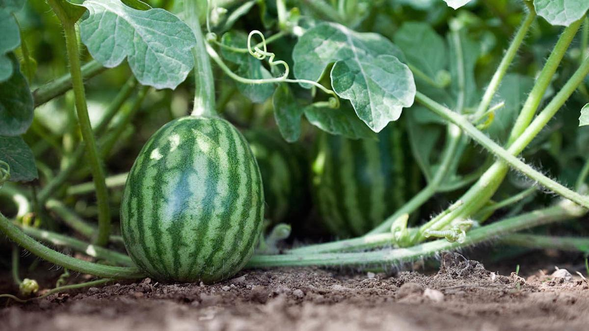 alternating_fruitsveg-watermelon-1.jpg