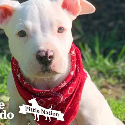 Little Pittie Puppy Is Determined To Run On His Own | The Dodo Pittie Nation
