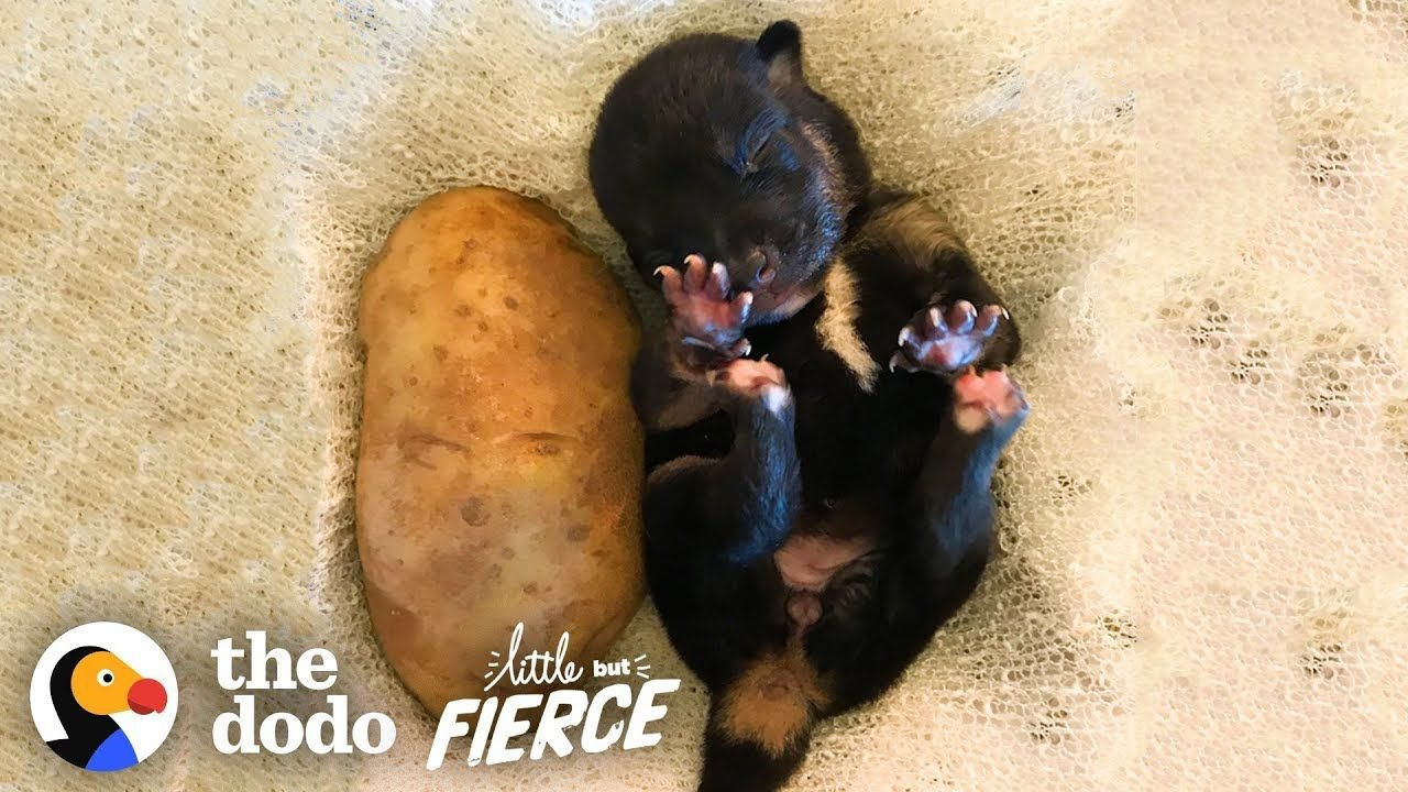 Who's Cuter — Puppies or Kittens? | The Dodo Little But Fierce