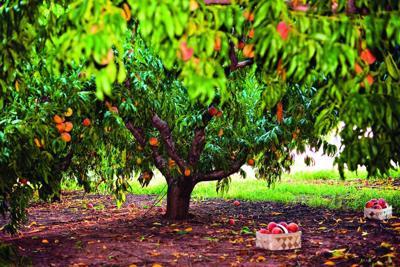 peach-tree-at-jaemor-farm-1495643416.jpg