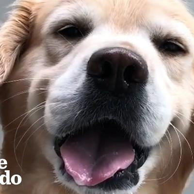 This Golden Retriever Gets BAMBOOZLED | The Dodo