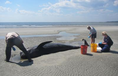Agencies respond to pilot whale stranding at St. Catherines Island that left 15 whales dead