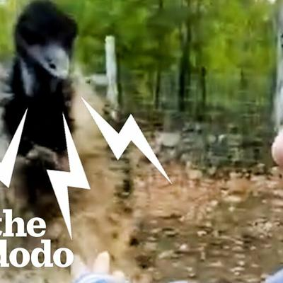 Karen The Hissing Emu Learns To Cuddle | The Dodo