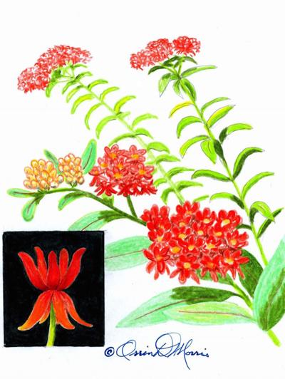 thumbnail_Butterfly Weed.jpg