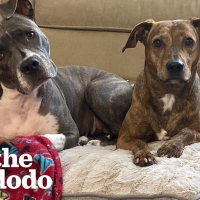 Pittie Who Was Scared Of Everything Now Plays For The Very First Time! | The Dodo Faith = Restored