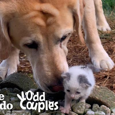 Tiniest Kitten Grows Up Pouncing On Her 115-Pound Lab Brother | The Dodo Odd Couples