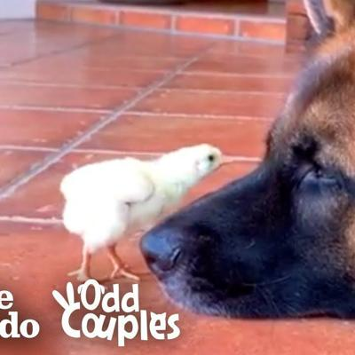 Watch These German Shepherds Raise Baby Chickens   The Dodo Odd Couples