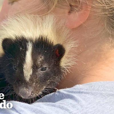 Woman Takes In Injured Little Skunk And Raises Him As Her Baby | The Dodo